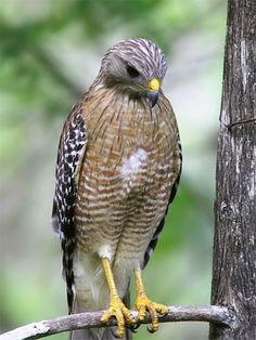 Reds Shouldered Hawk (Florida, USA)
