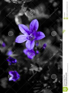 Purple Flower On A Black And White