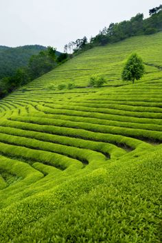 There are two main areas of growth of Indian tea: Darjeeling and Assam. Important cultivation areas are, apart from Darjeeling and Assam:    Dooars - west of Assam, mainly production of CTC teas.    Nilgiri - South Indian tea district, fresh teas, similar to those of Sri Lanka    Sikkim - north east of Darjeeling, high-quality teas    Terrai - south of Darjeeling, similar to Darjeeling, somewhat more herb in taste.