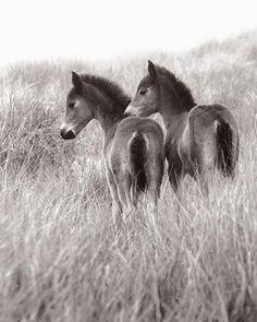 1,232 vind-ik-leuks, 33 reacties - Sable Island's Horses (@sableislandhorses) op Instagram: 'Like most baby animals, the baby horses are adorable. Image: Sisters ⠀'