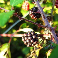 The last blackberries of this year. Yes, summer is over