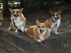 Three Corgis take a cement slab break