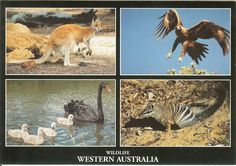 PK0068. Western Australia's unique and varied wildlife. Kangaroo and Joey, Wedge-tailed Eagle, Black Swan and Cygnets and the endangered Numbat.