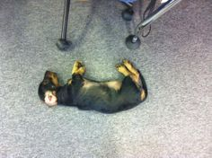 Getting comfy in my new office #DollyDaschund