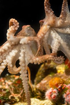Small red octopuses in the aquarium!