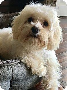 San Pedro, CA - Maltese/Poodle (Miniature) Mix. Meet Petals, a puppy for adoption. http://www.adoptapet.com/pet/17756789-san-pedro-california-maltese-mix