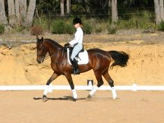 Standardbred -Standardbreds are also used in horse shows and for pleasure riding.