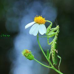 flower Mantis by bug eye :)
