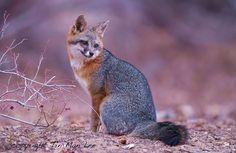 Grey fox by Tin Man Photography