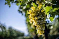 The essential infos about this grape variety. The Essential, Wine, Plants, Blog, Blogging, Plant, Planets