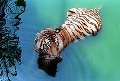 #MegaPlush  E de Extraordinario.. El extraordinario de Richard Parker =p tigers