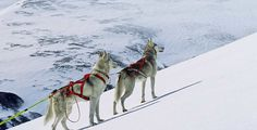 Dogs Sled, Birch, Norway, Husky, Dogs, Animals, Image, Lead Sled, Animaux