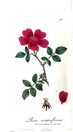 Rosa semperflorens, also known as the everblooming rose. Exotic Botany, Vol. 2, by James Edward Smith. #botany