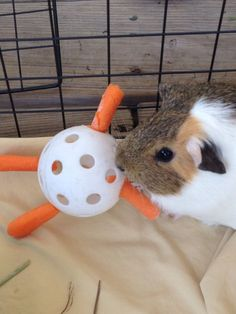 Combine a Wiffle ball with some baby carrots to make a fun toy for your guinea pig! Get a small Wiffle Ball. Push the small ends of baby carrots firmly into the holes of the Wiffle ball. Diy Guinea Pig Toys, Diy Guinea Pig Cage, Pet Guinea Pigs, Guinea Pig Care, Pet Pigs, Diy Bunny Toys, Diy Toys, Rabbit Toys, Pet Rabbit