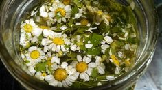 Feverfew, being tinctured. Grown easily in your garden..these flowers and leaves support ease of Migraines. Chewed fresh on the onset of a migraine can take you right out of within 10 min.