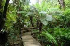 Maits Rest Rainforest boardwalk, only 10 minutes drive west of Apollo Bay on the Great Ocean Road