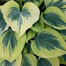 Hostas for sale buy Hosta 'Liberty' PP 12,531