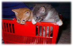 Kitten Care Online Tutorial Lesson 1: Preparing for a New Kitten