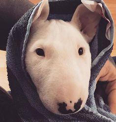 minibull after bath