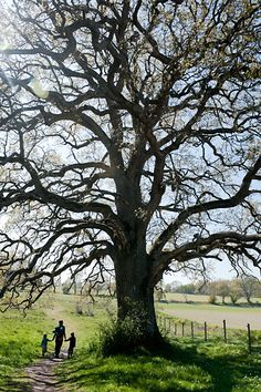 Oak Tree Memory - just like the one at The Green in Badshot Lea