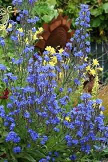 """Anchusa azurea """"Alkanet""""   Tough as nails, it's drought tolerant, deer resistant & snail proof. lots of bright truest royal blue """"Forget-Me-Not"""" flowers display for months on sturdy multi-branching stems. When it's finished, cut it back to the foliage for a second performance as good as the first. Not fussy about soil but a yearly addition of compost makes it fantastic. Drought tolerant! Grows 4' tall & 3' wide. Sun–Pt Sun Avg.-Low Water Perennial Zones 5-10"""