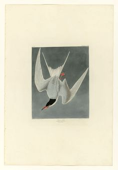 309 Great Tern - User:Mturtle/The Birds of America - Wikimedia Commons