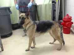 08/24/15-HOUSTON - This DOG - ID#A440677 I have a possible adopter. I am a female, black and tan German Shepherd Dog mix. My age is unknown. I have been at the shelter since Aug 17, 2015. This information was refreshed 44 minutes ago and may not represent all of the animals at the Harris County Public Health and Environmental Services.