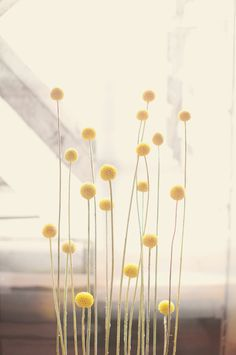 Craspedia is a genus of flowering plants in the daisy family commonly known as billy buttons and woollyheads. <<JUST OUT OF BOTANICULA>> Billy Balls, Photocollage, Button Flowers, Mellow Yellow, Bright Yellow, Simple House, Ikebana, Yellow Flowers, Cut Flowers