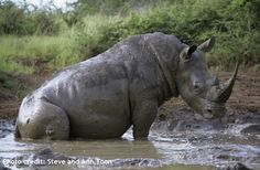 White rhinos tend to wallow in the mud, which serves as a cooling technique, effective sun protection and insect repellent