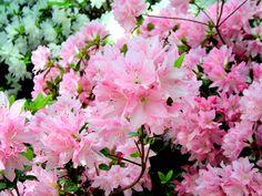 Azalias Pink