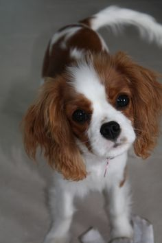 Carly Rae our first Cavalier King Charles Spaniel.