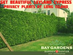 Leyland Cypress Privacy plants have become most buying plants at New York. By its fast-growing quality, thick shape, strength of creating attraction, Making privacy, giving fresh air mostly people prefer to use Leyland Cypress plants at their garden or backyard. Baygardens helps you to offer best Leyland Cypress privacy plants at affordable prices for keeping privacy.