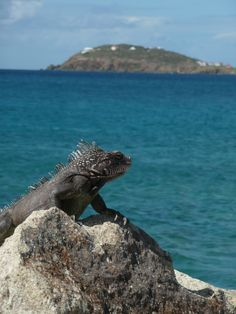 St Thomas USVI Iguanas hang in the trees and one has to ignore them to get to the beach or remain creeped out.