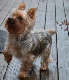 I am Lucky, a very social with people, 12 year old, 8 pound, neutered Yorkshire Terrier. Available to adopt. I enjoy going for my walks, not too long and not too fast as I have arthritis and although I am quite agile need this consideration. I must be carried up...