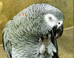 Graupapagei - Fine Art Photography - Vogel Druck - Tier Wandkunst - Tierfotografie von Graupapagei - einzigartige Wohnkultur