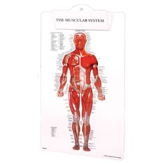 "Lightweight plastic clipboard features illustration of the human musculature. Names virtually every muscle in the human body. Anterior view on front and posterior view on back. 9"" x 15 1/2&qu..."