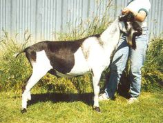 GCH *B Tempo Aquila Free Radical LA: 87 VEV Sire of GCH Tempo Aquila Offset, the high seller at the 1998 Colorama Sale