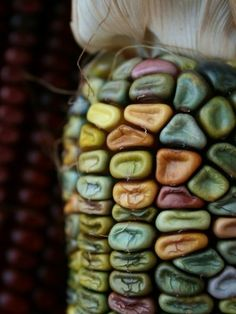 """Love the colours of """" Indian"""" corn. Each cob is a surprise as the husks are pulled off."""