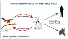 West Nile Virus (WNV) is a member of the flavivirus genus and belongs to the Japanese encephalitis antigenic complex of the family Flaviviridae.West Nile Virus (WNV) can cause neurological disease and death in people. WNV is commonly found in Africa, Europe, the Middle East, North America and West Asia. WNV is maintained in nature in a cycle involving transmission between birds and mosquitoes. Humans, horses and other mammals can be infected.