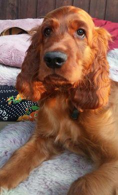 Luca ~ Irish Setter Pup ~ Classic Look ~ 11 weeks