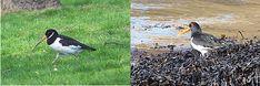 Podéis encontrar ostreros tanto en la orilla de la playa como en un parque urbano (ojo al problemón que tiene con el pico!) Bird Watching, Animals, Urban Park, Eye, Parks, Beach, Animales, Animaux, Animal