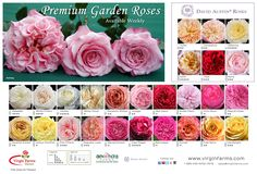 Virgin Farms Direct supplies fresh cut flowers and garden roses, including David Austin varieties to wedding and event florists nationwide. Free shipping.