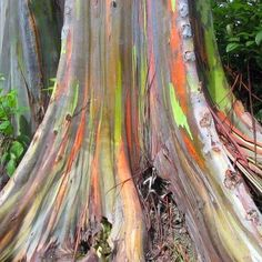 So this is a real tree.    The Rainbow Eucalyptus (Eucalyptus deglupta) or 'MINDANAO GUM' looks almost like it's been spray painted, but the up to 70-m tall tree is colored this way completely naturally. Its bark can take on a yellow, green, orange and even purple shading.  Indonesia, Papua New Guinea or Philippines where the tree grows natively. However, it has been introduced worldwide as an exotic wood in South America, Malaysia, Sri Lanka, China and other countries.