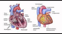 erkrankungen des herzens Erkrankungen des Herz-Kreislauf-Systems wie Herzinsuffizienz koronare Herzerkrankung und Herzinfarkt zählen zu den häufigsten Krankheiten und sind in Deutschland die Todesursache Nr. 1. Deshalb sind die rechtzeitige Vorbeugungerkrankungen des herzens  Erkennung und Behandlung besonders wichtig. Informieren Sie sich über die Entstehung Diagnose Therapie und Vorbeugung von Krankheiten des Herz-Kreislauf-Systems. Lunge, Heart Failure, Heart Attack, Medical Conditions, Germany, Dinner Table