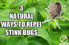 3 Ways To Naturally Repel Stink Bugs (here you go Squires Squires Condit)