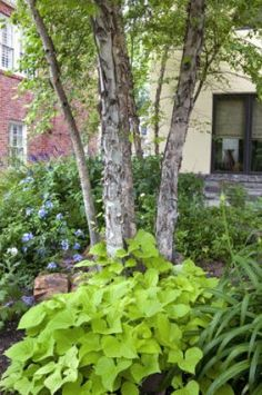 10 Best Shade Trees for Texas Heat and Texas Soils ~ I LOVE trees ~ these river birch trees would look BEAUTIFUL off my patio and would block the setting sun from glaring in my windows but still allow glimses of the lovely sun sets.