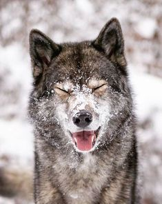 Wolf look-alike Siberian Husky ( Wolf Photos, Wolf Pictures, Beautiful Wolves, Animals Beautiful, Animals And Pets, Cute Animals, Wolf Husky, Wolf Pup, Alpha Wolf