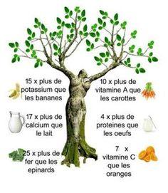 moringa_arbre