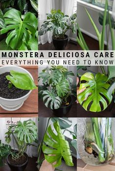 This post shares my monstera deliciosa care guide. Growing monstera deliciosa indoors, or the swiss cheese plant, makes a beautiful addition to your home! Monstera Deliciosa, House Plant Care, House Plants, Peperomia Plant, Pothos Plant Care, Plant Cuttings, Inside Plants, Plant Guide, Plantar
