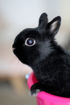 Beautiful black bunny George - with the photographer in his eye! (by Jeni Baker on Flickr)